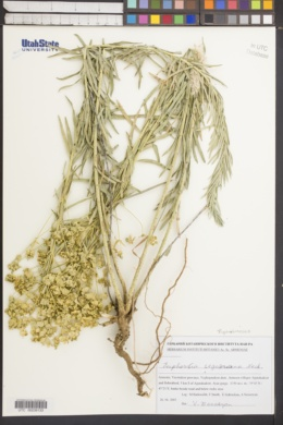 Euphorbia seguieriana image