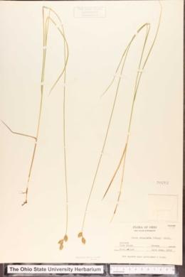 Carex suberecta image