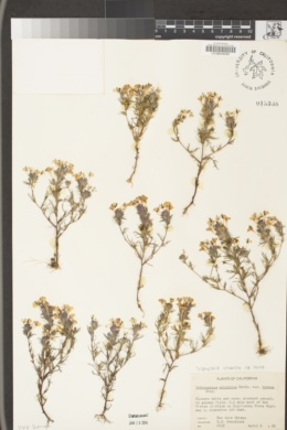 Triphysaria eriantha subsp. rosea image