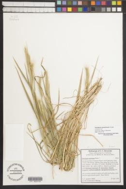 Hordeum arizonicum image