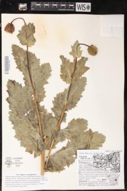 Papaver somniferum subsp. setigerum image