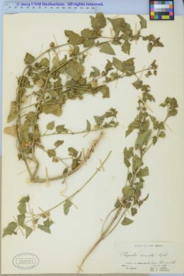 Physalis hederifolia var. comata image