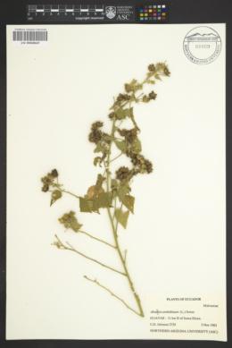 Abutilon reflexum image