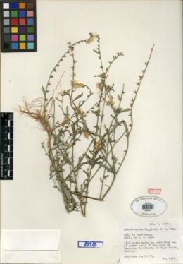 Heliotropium wigginsii image