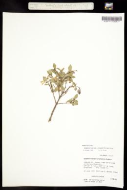 Symphoricarpos rotundifolius image