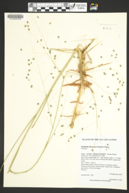 Redfieldia flexuosa image