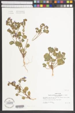 Phacelia pulchella image