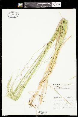 Achnatherum robustum image