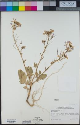 Raphanus raphanistrum subsp. sativus image