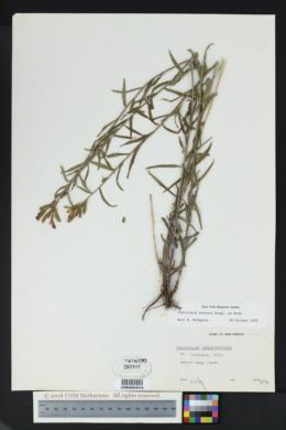 Castilleja miniata image