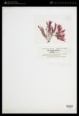 Membranoptera serrata image