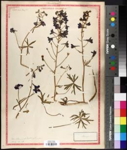Delphinium menziesii image