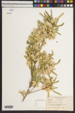 Image of Dodonaea arizonica