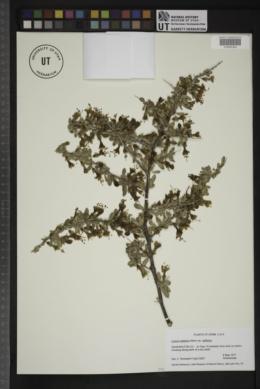 Lycium pallidum var. pallidum image