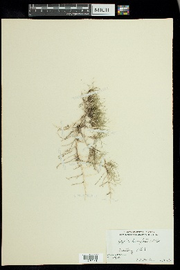 Image of Zoysia tenuifolia