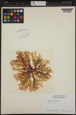 Hymenena dilabida image