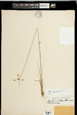 Fimbristylis caroliniana image