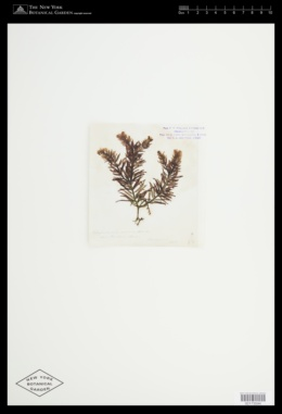 Gastroclonium ovatum image