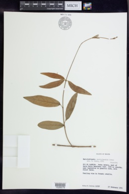 Image of Banisteriopsis parviglandula