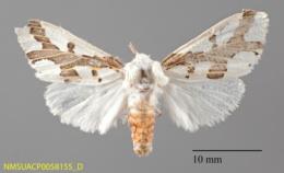 Euerythra phasma image