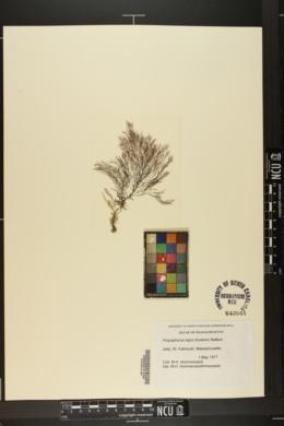 Polysiphonia nigra image
