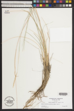Leymus salina image