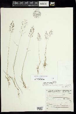 Image of Sporobolus macrospermus