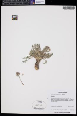 Cymopterus bulbosus image