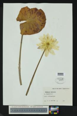 Nymphaea mexicana image