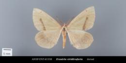 Erastria viridirufaria image