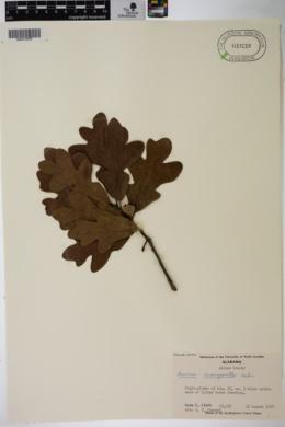 Quercus margarettae image
