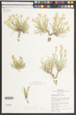 Image of Lepidium barnebyanum