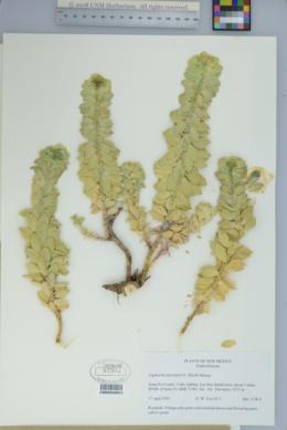 Euphorbia myrsinites image