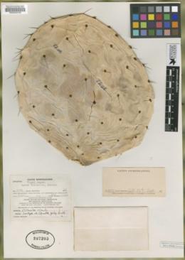 Image of Opuntia gorda