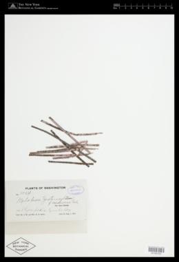 Pneophyllum zostericola image