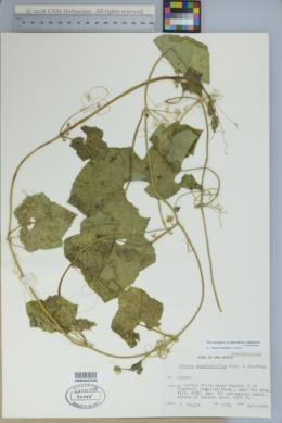 Sicyos laciniatus image