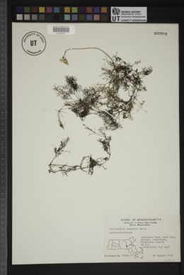 Utricularia purpurea image
