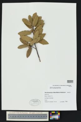 Quercus mexicana image