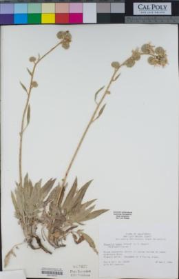 Phacelia magellanica image