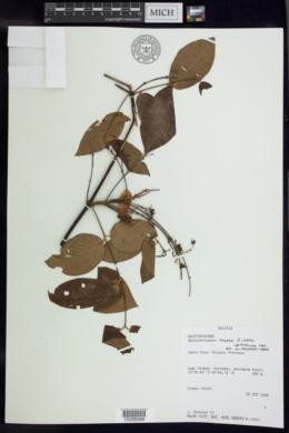 Image of Banisteriopsis prancei