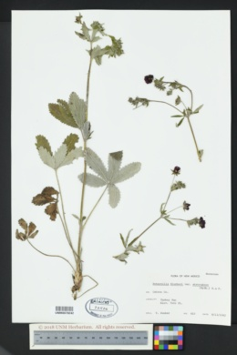 Potentilla thurberi var. atrorubens image