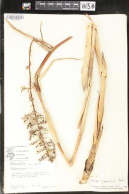 Image of Aechmea pyramidalis