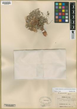 Astragalus musiniensis image