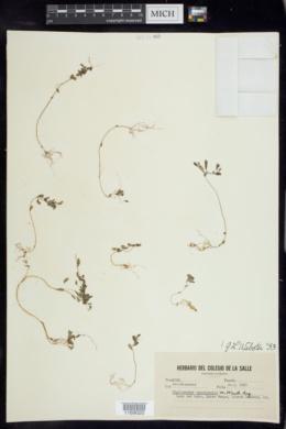 Image of Phyllanthus tenuicaulis