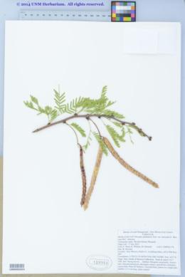 Prosopis juliflora var. glandulosa image