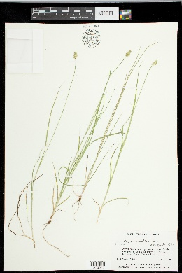 Carex leavenworthii image