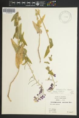 Image of Streptanthus squamiformis