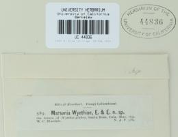 Pseudodidymaria wyethiae image
