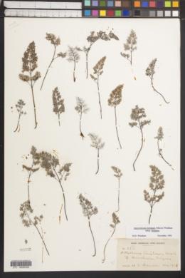Argyrochosma limitanea subsp. limitanea image