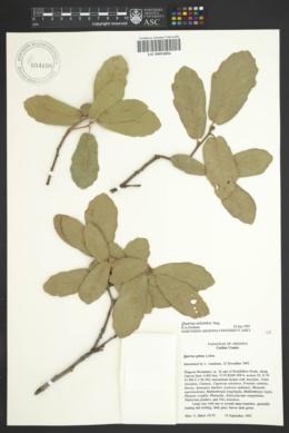 Quercus arizonica image